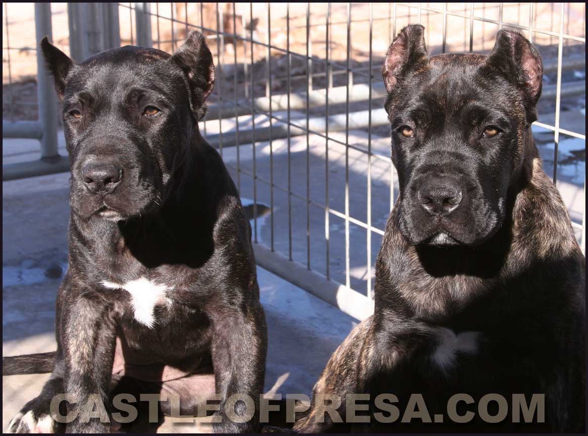 Presa Canario Puppies For Sale Presa Puppies Available