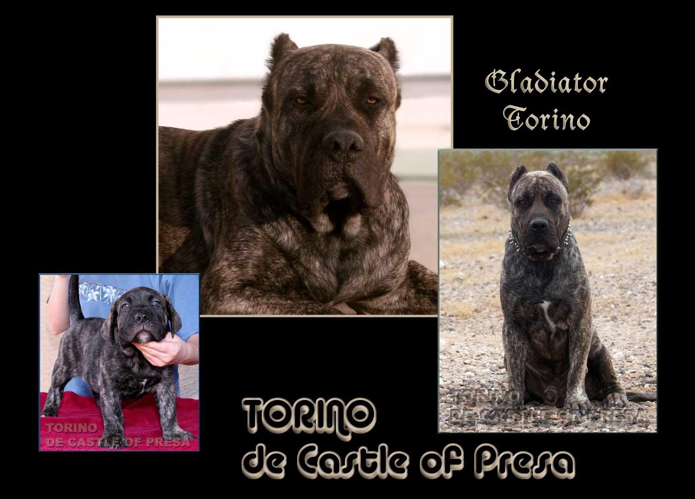 presa canario puppies for sale presa puppies available